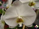 /ogv/img/pix/2009_Orchideenpflege/DSC04664.JPG