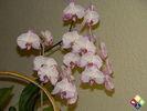 /ogv/img/pix/2009_Orchideenpflege/DSC04698.JPG
